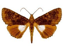 papillon clair-obscur